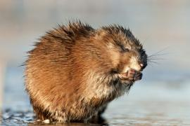 wet muskrat with hands to its mouth