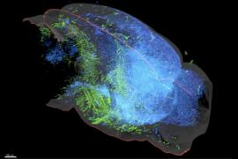 a 3D rendering image of part of a mouse brain